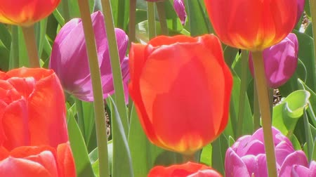 tulipany : Slow zoom out of beautiful red and purple tulip garden in springtime.