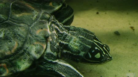 moře : Close-up of small Ringed Sawback Map turtle eating while swimming in aquarium.