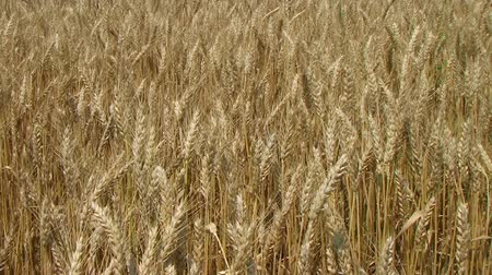 otruby : Close-up of golden field of wheat blowing, ripe and ready for harvest. Dostupné videozáznamy