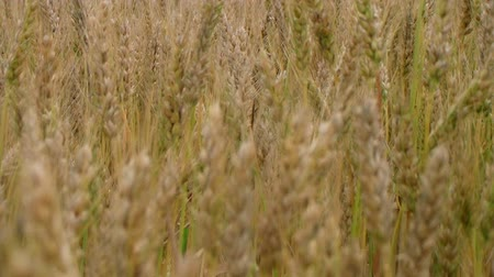 otruby : Rack focus of golden field of wheat blowing, ripe and ready for harvest.
