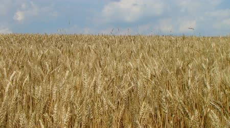 otruby : Golden field of wheat ripened and ready for harvest, against sky. Dostupné videozáznamy