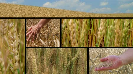 stopy : Composite of golden wheat crop fields ripe and ready for harvest.