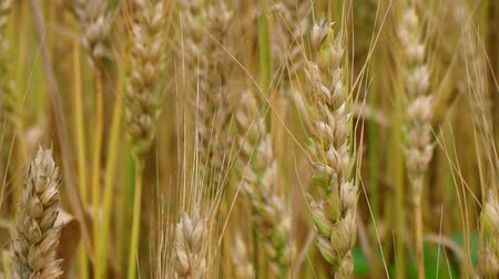 otruby : Macro of golden heads of wheat blowing, ripe and ready for harvest.