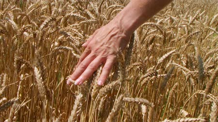 pszenica : Close-up of womans hand running through wheat field, dolly shot. Wideo