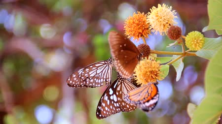 мотылек : butterfly are sucking nectar on a flowering fruit. in sunny summer garden