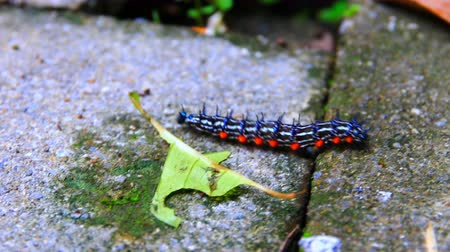 caterpillar worm striped black and white Camminare sul pavimento in cerca di cibo. VDO 4K