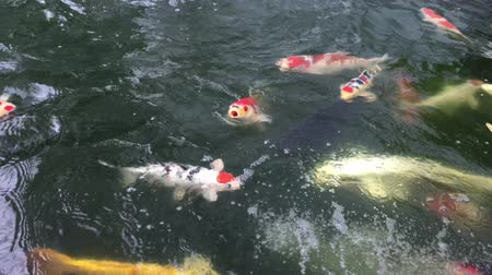 Koi fish swam back and forth in the springs. Stock Footage