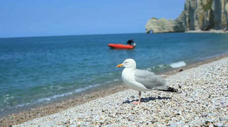 normandie : Close-up of a cautious gull on a shingle beach in Etretat, Normandy, France