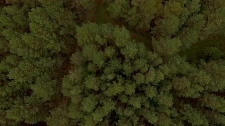 natural tranquil : 4K aerial view flying over green forest wood