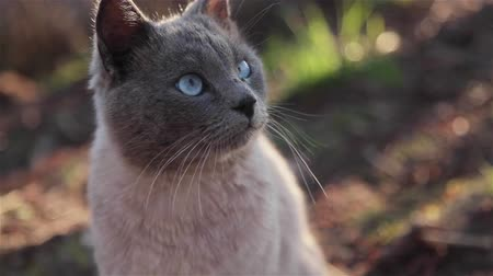 instincts : Released domestic pets behavior in natural surroundings - cautious grey cat with blue eyes licking lips cleaning his fur suddenly shudder and then cautious smelling grass looking around and at camera