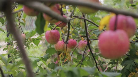 cultivar : Apples on tree close up rack focus. Red organic ripe apples grow hanging on tree branch in orchard garden countryside ready to harvest. Eco farming local business homegrown fruits healthy vitamin diet