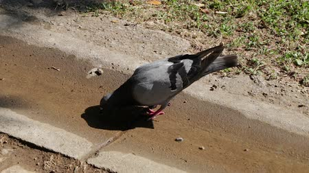 rock dove : Dove in the park drinks water is walking on the ground.