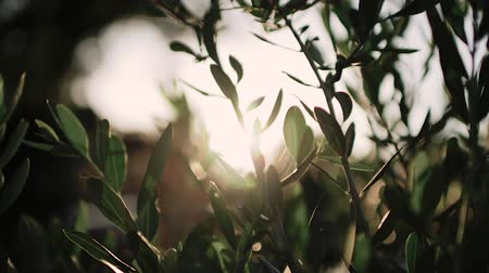 řek : Close up view of green Olive branch tree with rays of sun in the background