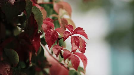 folha : Red autumn leaves on which raindrops fall