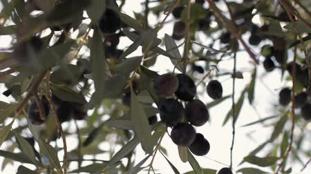 oliwki : Olives hang on branches in the sun Wideo