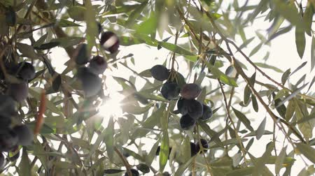 диеты : Olives hang on branches in the sun Стоковые видеозаписи