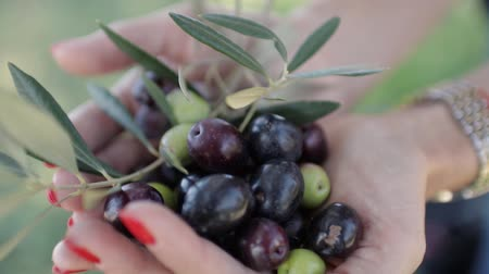 összetevők : Ripe black and green olives and leaf in womens palms