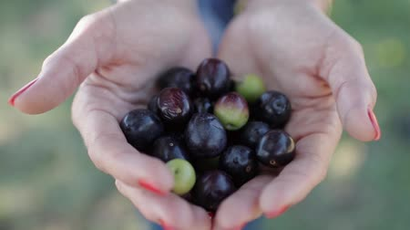 összetevők : Ripe black and green olives in womens palms