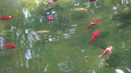 birlik : Gold fish in the river
