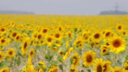 girassóis : Close-up of a sunflower in the meadow swinging in the wind