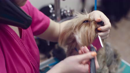 сушка : Close up Yorkshire terrier being brushed by professional pet groomer