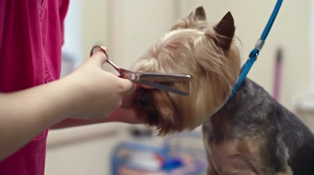Female groomer using thinning shears to cut hair from muzzle of Yorkshire terrier
