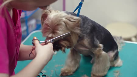Woman holding Yorkshire terrier muzzle and cutting his hair with thinning scissors in grooming salon