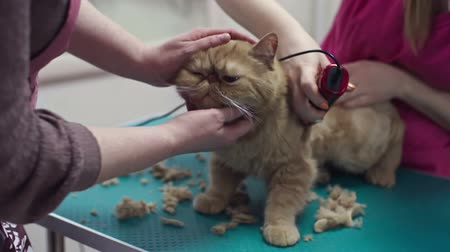 Woman trying to calm down cute cat while professional groomer cutting hair in salon