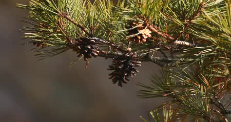 daleko : shooting cones on a coniferous tree, harvest cones on a tree, cedar, evergreen tree