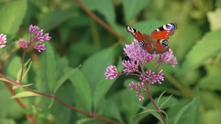 short clip : Brown butterfly sits on a lavender flower Stock Footage