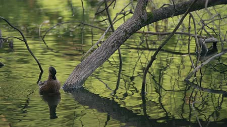 short clip : Two Ducks Cleaning Their Feathers Between The Trees In The Lake Stock Footage