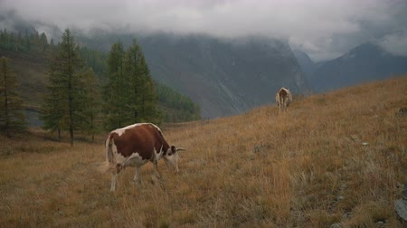 short clip : Two Brown Cows On Grass At The Edge Of Boreal Forest In Siberian Mountains At Daytime