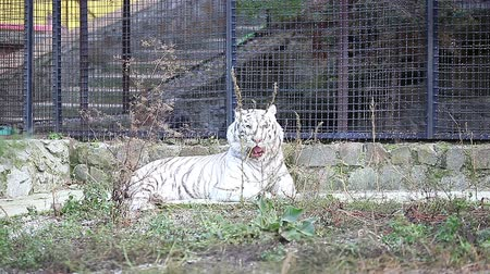 řev : White tiger in the zoo