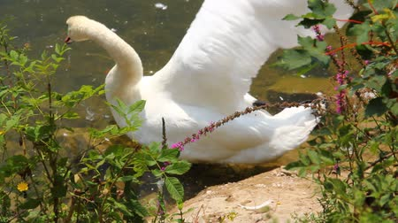 cisnes : Cisne hermoso. Archivo de Video