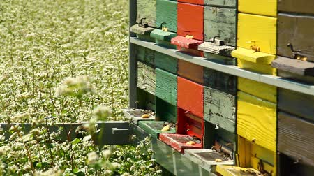 традиционный : Apiary in the middle of buckwheat field close up.