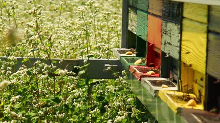 drone : Apiary in the middle of buckwheat field.