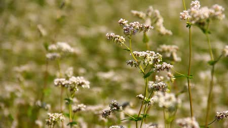 kırsal : Close up of young buckwheat in flower.