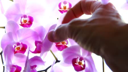 orchidea : Touching orchid flower.