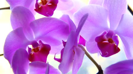 orchidea : Orchid flower.