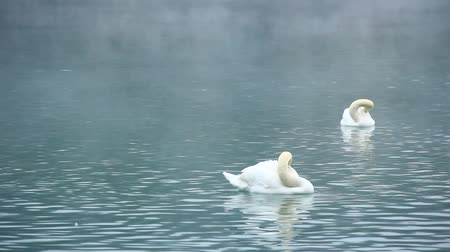 két : Beautiful swans swimming on winter lake.