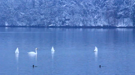 monocromático : Swans and ducks in cold winter lake.