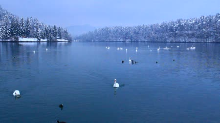 tek renkli : Swans and ducks in cold winter lake.