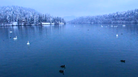 stěhovavý : Swans and ducks in cold winter lake.