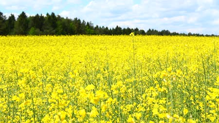 суши : Rapeseed on the field.