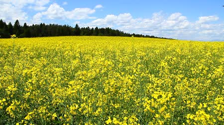kimse : Rapeseed on the field in spring.