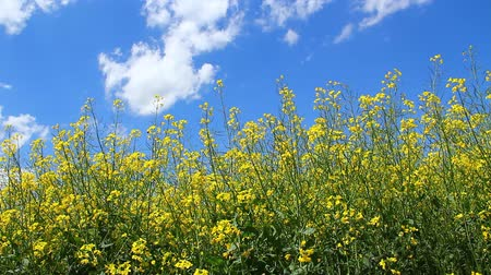 cena de tranquilidade : Rapeseed on the field in spring.