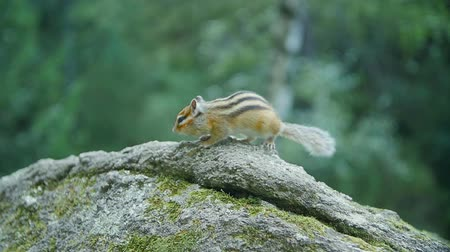 sciuridae : Adorable little chipmunk perched on a rock