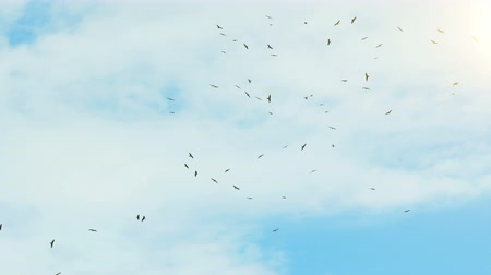 accipitridae : A flock of birds flying in the sky