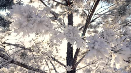 icy : Sun in the frame through the tree branches in the hoarfrost. Winter is Christmas time.