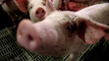 porquinho : A small piglet in the farm. group of pigs waiting feed. swine in the stall. Stock Footage